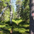Rüchiwald - mit vielen reifen Heidelbeeren