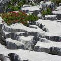 Schrattenkalk und Alpenrosen