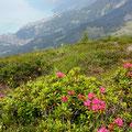 Alpenrosen auf dem Wilerhorn