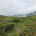Alpenrosen auf dem Rückweg zur Melchsee-Frutt