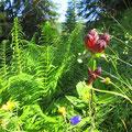 Wunderbare Alpenflora