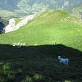 Der Herdenschutzhund im Gipfelbereich der Schafmatt
