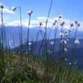 Wollgras schmückt die Bergwelt