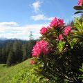 Alpenrosen bei der Alp Gugel