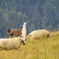 Zwei aufmerksame Lamas bewachen die Schafherde