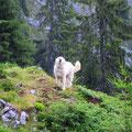 Der Herdenschutzhund....