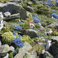 Wunderschöne Alpengärtchen