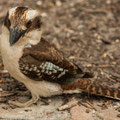 Breadleys Head - Kookaburra (Lachender Hans)