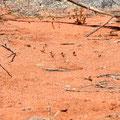 Wir haben bisher noch fast keine Känguruhs gesehen... ausser die drei hier...