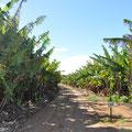 Bananenplantage in Carnarvon