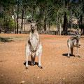 Rubyvale Gemseeker Caravan Park - Känguru