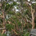 Angophora Walk, Breadleys Head (Sydney Harbour NP)