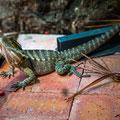 Kuranda, ein Lizard