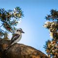 Watsons Bay - Lachender Hans (Kookaburra) im Robertson Park