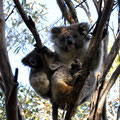 Kangaroo Island Caravan Park - Koala mit Baby