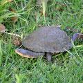 im Park hinter dem Barossa Valley Tourist Park - Schildkröte
