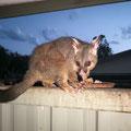 Rubyvale Gemseeker Caravan Park - Opossum