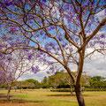 New Fam Park - Jacaranda Trees