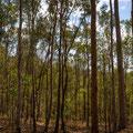 Mount Coot-tha Summit Track - Wo ist der Koala?