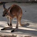 Josephine's Bar - Baby-Kangaroo