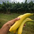 bevor wir von hier abreisen: noch einmal Bananen direkt von der Plantage