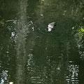 Eungella National Park - Wasserstelle direkt beim Fern Flat Campground - Platypus (Schnabeltier)