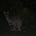 Newland Head Conservation Park - Kängurus auf dem Campingplatz