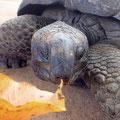 Riesen-Landschildkröte beim Früchtestand