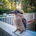 Glenferrie Lodge, Sydney - ein Kookaburra