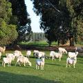 Kangaroo Island Caravan Park - Schafherde beim Platz