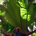 Vallée de Mai - unglaublich grosse Palmenblätter