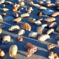 Eighty Mile Beach - Muscheln
