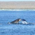Ningaloo Reef - Buckelwale