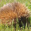 Unterwegs auf Kangaroo Island - Echidna (Beuteligel)