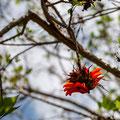 Mount Coot-tha Summit Track - Flora