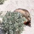 Seal Bay - Seerobbenkolonien