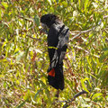 Kakadu National Park - Black Cockatoo