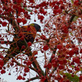Rainbow Lorikeet in Kirribilli