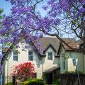 Kirribilli - Blühende Bäume
