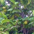 Impressionen aus 'La Passe' - Grapefruit-Baum