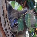 Kangaroo Island Caravan Park - Koala