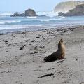Seal Bay - Seerobbenkolonien am Strand