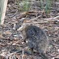 Kangaroo Island Caravan Park - Wallabie