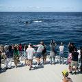 Viele Wale, sehr nah!