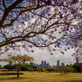 New Fam Park - Jacaranda Trees und Skyline