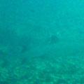 schnorcheln bei Felicité Island - Schwarzspitz Riffhai