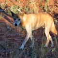 Ein Dingo auf dem Weg zum Canyon