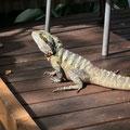 Kuranda - ein Lizard