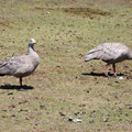 im Flinders Chase National Park - Gänse o.ä.