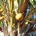Camping Eighy Mile Beach - Kokosnüsse